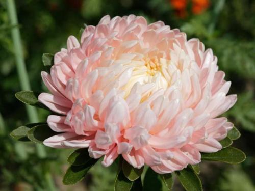 осенние цветы фото с названиями