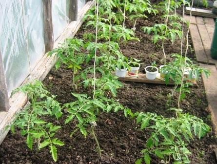 Как подвязать помидоры в теплице фото