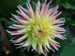 """Георгина кактусовая  """"Стар Элит """" :: Cactus Dahlia `Star Elite` - Цветы Академгородка."""