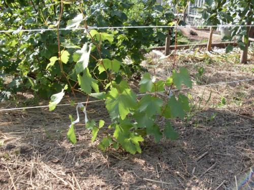 Горчица как удобрение и от сорняков в огороде, белая 96