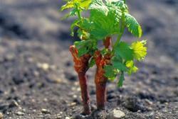 Выращивание саженцев винограда из отводков