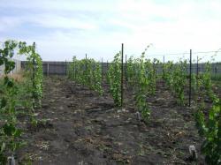 Обработка почвы и внесение удобрений на винограднике