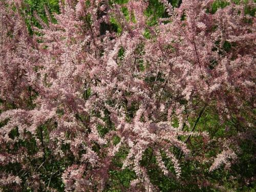 Кустарник с мелкими розовыми цветами