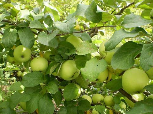 Сад крутовского красноярск каталог саженцев яблони