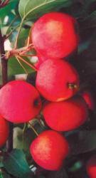 Синап минусинский