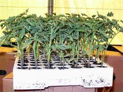 как подкормить рассаду помидор аммиачной селитрой