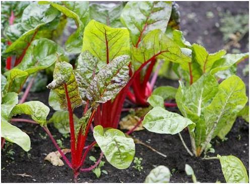 Почва для посадки свеклы должна быть достаточно рыхлой и питательной.  Грядки лучше готовить заранее - поздней осенью.