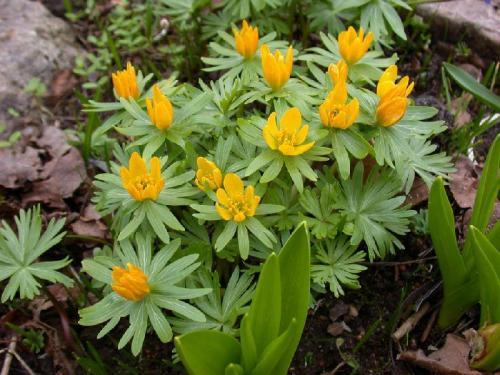 цветок цветет как радиола но крунные листья теме: Как отправить