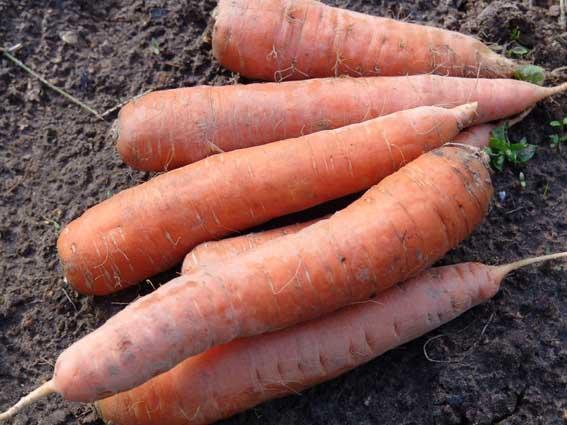 Морковь - все о подземной красавице