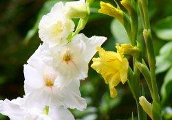 Особенности выращивания гладиулусов