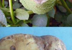 Фитофтороз картофеля и меры борьбы с ним