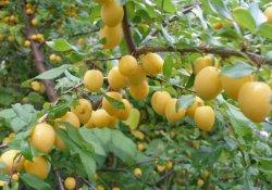 Особенности выращивания сливы