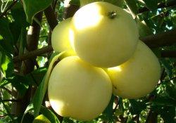 Заготовка семян яблони