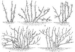 Особенности выращивания смородины