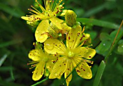 Cборы лекарственных растений № 12 - 15