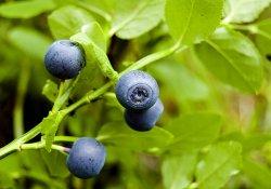 Cборы лекарственных растений № 234 - 243