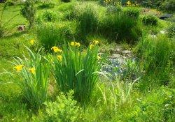 Ирисы болотные, или желтые