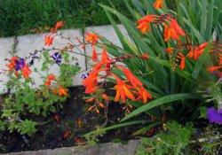 Монтбреция садовая