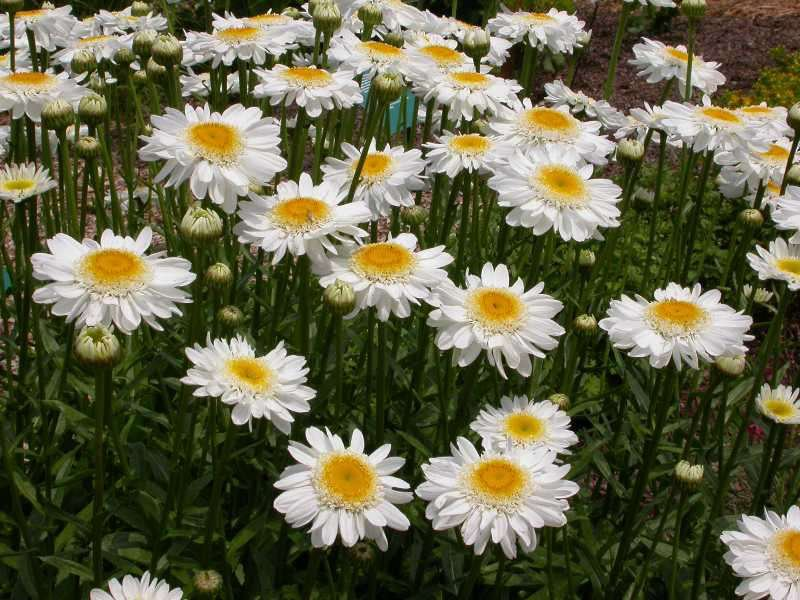 Нивяник цветок
