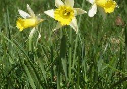 Нарцисс ложный, или желтый