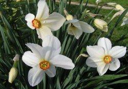 Нарцисс поэтический, или белый