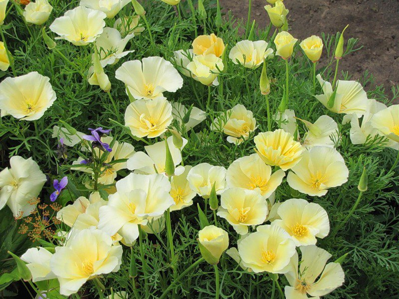 цветы фото эшшольция: