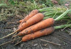 Выращивание моркови и сорта