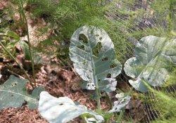 Способы защиты капусты от вредителей