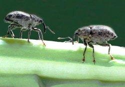 Борьба с вредителями лука