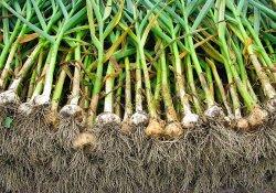 Уборка и хранение чеснока и лука