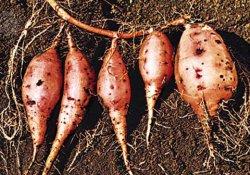 Батат, или сладкий картофель