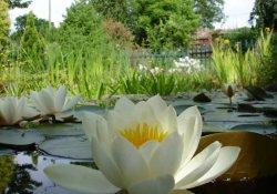 Высаживаем водяные растения в пруду