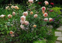 7 секретов полива роз