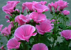 Розовые облака лаватеры