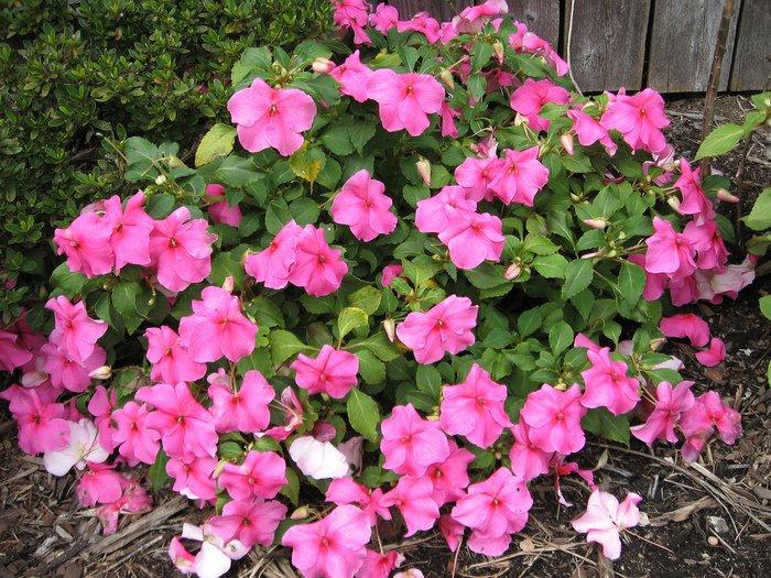 Фото цветов бальзамин садовый