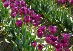 Тюльпаны в декоративном садоводстве