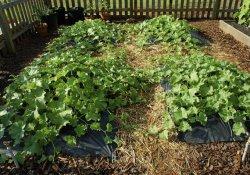 Мульчирование в садоводстве