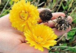 Когда собирать семена цветов?