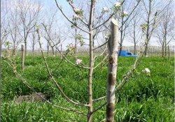 Формирование кроны саженцев плодовых деревьев