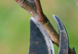 Обрезка при формировании кроны плодовых деревьев