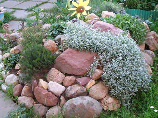 ясколка фото цветок