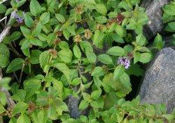 Мята полевая - индикатор слабокислых почв