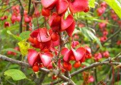 Бересклет красноплодный