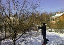 Обрезка плодоносящих деревьев