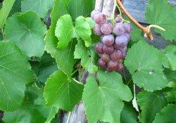 Виноград Лабруска