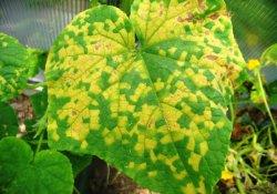 Вирусные и микоплазменные болезни растений