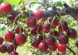 Советы по обрезке  вишни