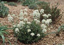 Растения - кальцефиты для рокария