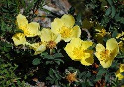 Роза кокандская