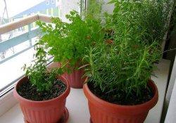 Мини-садик из пряновкусовых растений